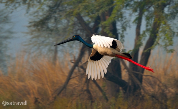 Black-necked Stork, Sultanpur, Dec 2011