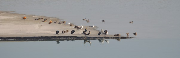 Waterfowls at the Hathni Kund reservoir