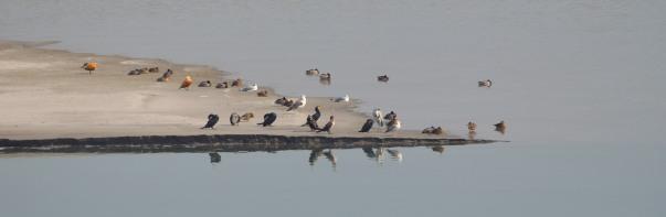 Waterfowls at the Hathni Kund reservoir
