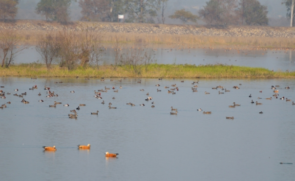Brahminy Ducks dominated the bird-count that day