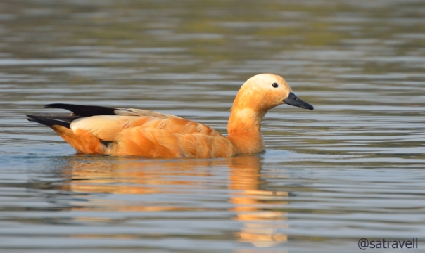 Ruddy Shelduck breeds in high altitude lakes in the trans-Himalayan region