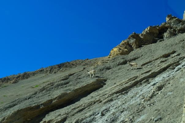 A Bharal couple climbing up the slopes of Zaskar Range