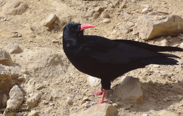 Locally called Karnbhedi, Red-billed Chough near Kilang