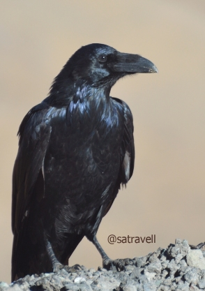 Locally called Phoro, a Northern Raven at Tanglang La