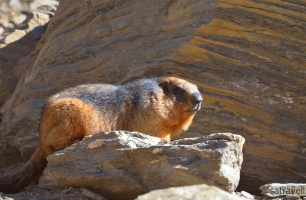 Locally called Phiya, the threatened Long-tailed Marmot