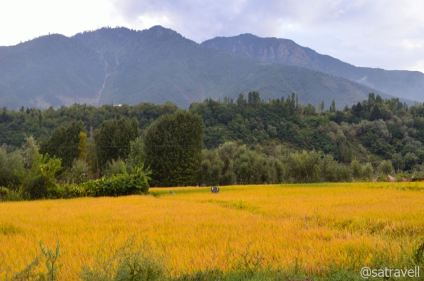 The ripened crop in the Vale of Kashmir