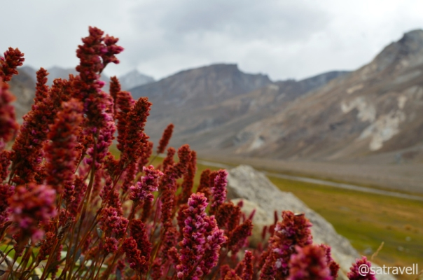 Wild rhubarbs in the Suru Valley