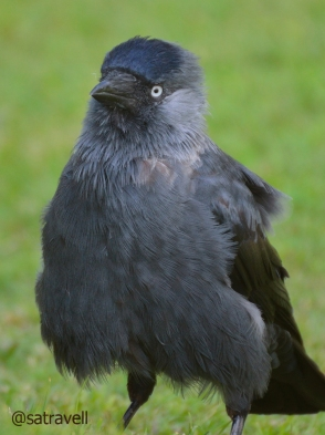 Breeding summer visitor Eurasian Jackdaw