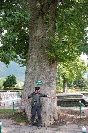 Originally planted Chinar Tree (more than 400 yrs old)
