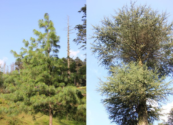 A Pine and a Deodar