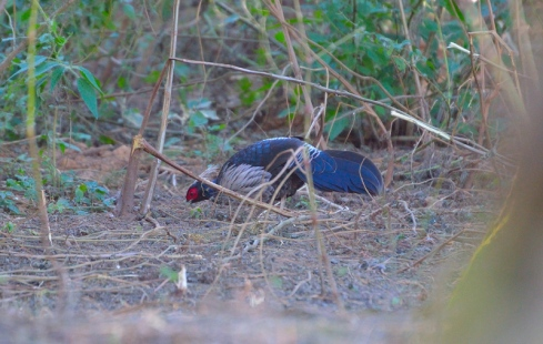 Kalij Pheasant (White-crested) spotted on the way to Khirsu