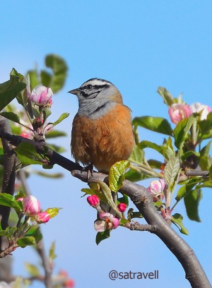 Locally called Shail Chirta, Rock Bunting perched on a apple tree