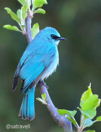 Locally called Puthir Chitta, the less common Verditer Flycatcher