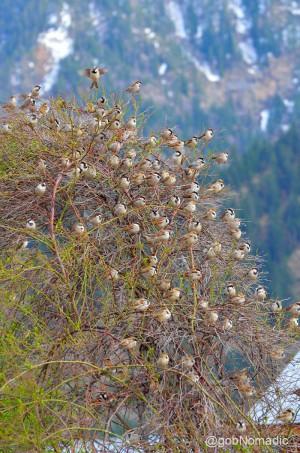 "House Sparrow ""Tree"" at Sangla"