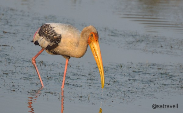 Locally called Janghil, a Painted Stork. More bird-images from the region at Flickr Photoset