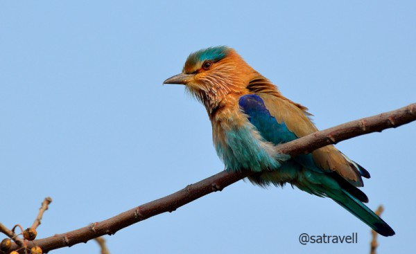 Locally called Desi Neelkanth, an Indian Roller. More bird-images at Flickr