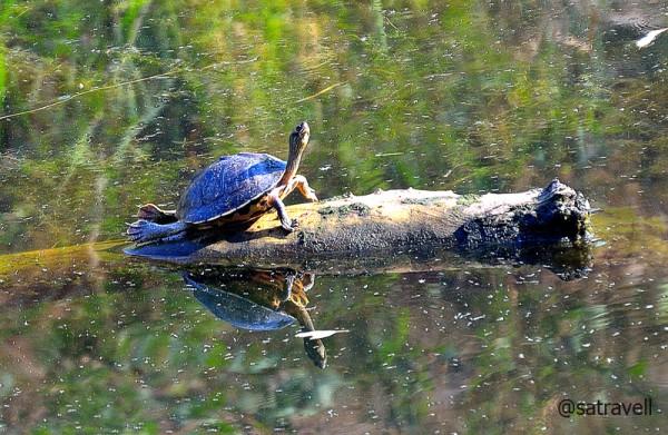 Indian Roofed Turtle sunbathing at the lake