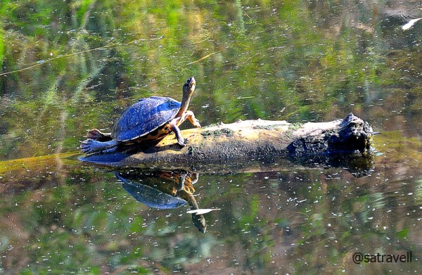 Indian Roofed Turtle sunbathing at the lake