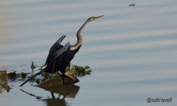 Locally called Pandubi, the Indian Darter is also called Snakebird