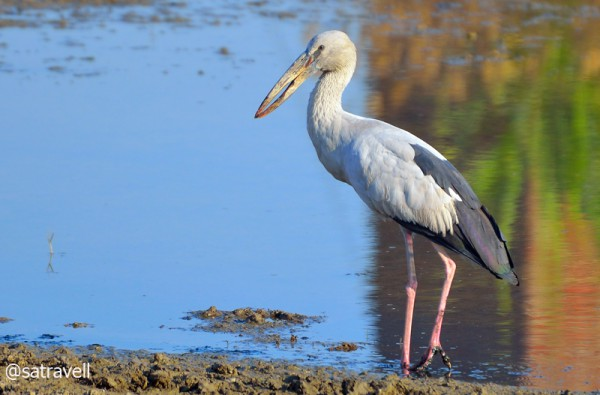 Locally called Gangla, an Asian Openbill. More from