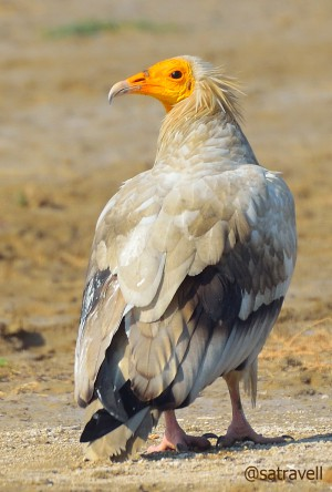 Locally called Safed Giddh, an endangered Egyptian Vulture. More bird-images at Flickr Photoset