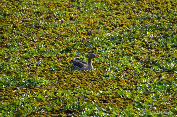 A Greylag Goose wading through Water Hyacinth, the biggest threat to the emerging habitat