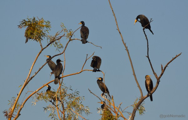 A group of Cormorants taking the sun