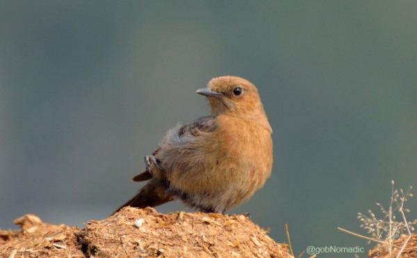 Locally called Dauma, a Brown Rock-chat. More bird-images at Flickr Photoset