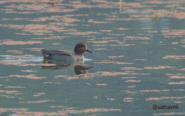 Locally called Chhoti Murgabi, a Common Teal