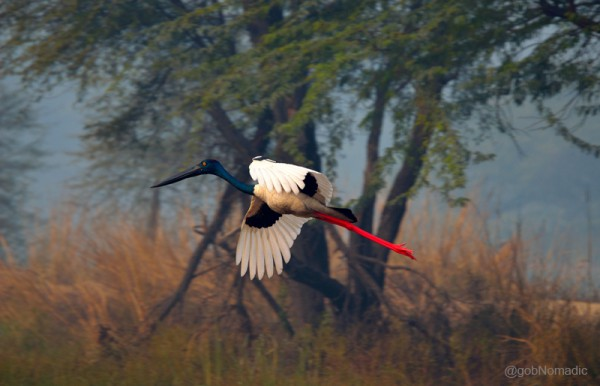 Locally called Loharjung, a near-threatened Black-necked Stork