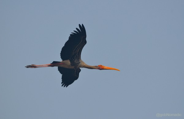 Locally called Janghil, a Painted Stork in flight