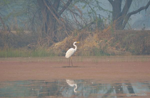 A Egret