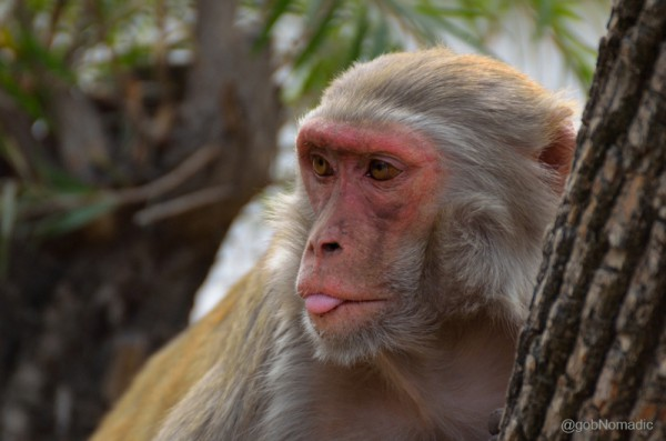 Commonly called Bandar, Rhesus Macaques pose threat to the nesting sites of the residents