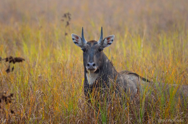 Locally called Roz, a Blue Bull (Nilgai) male inside the sanctuary