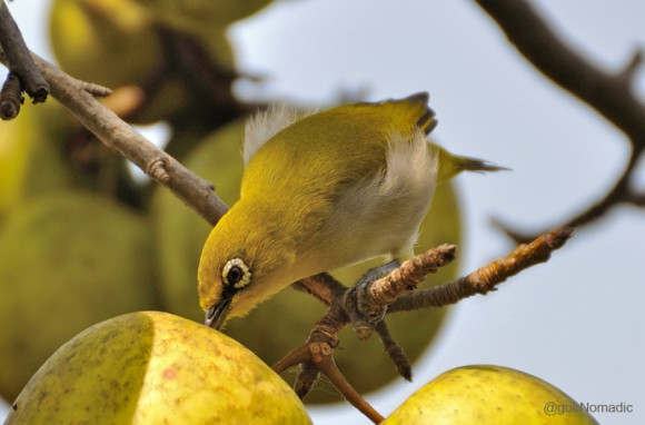 An Oriental White-eye feasting on a ripened Golden Apple