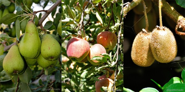 Ready to be plucked fruits: Golden apple, Red apple and Kiwi
