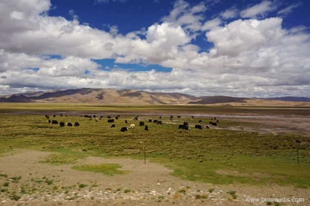 The highway passed through a prime wild yak country