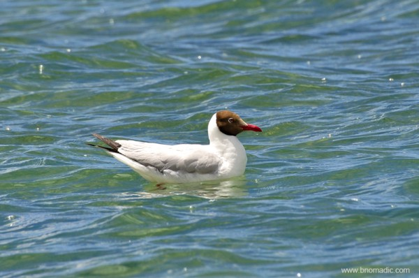 A Brown-headed Gull in its breeding plumage