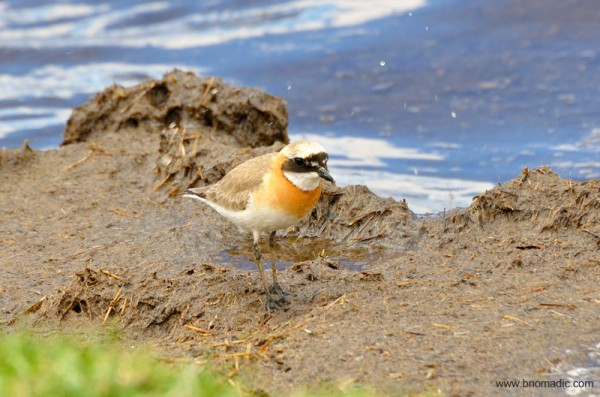 A Lesser Sand Plover in its breeding plumage