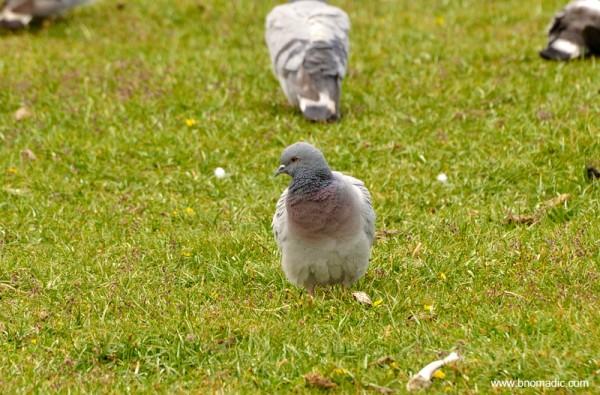 A Hill Pigeon