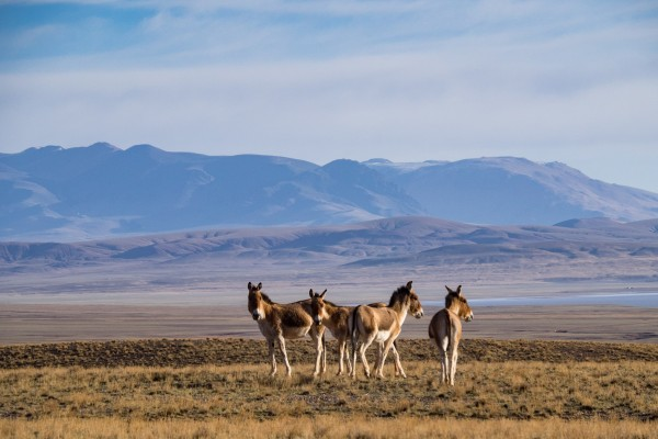 Some more Wild Asses, Kiangs on the Tibetan plateau. Photo by Rita Willaert