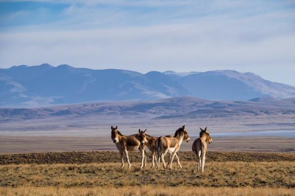 Some more Wild Asses, Kiangs on the Tibetan plateau. Photo by Rita Willaert