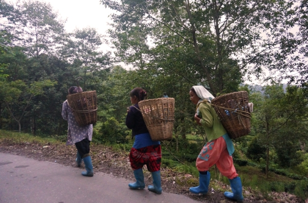 Tea plantation workers with their cane baskets