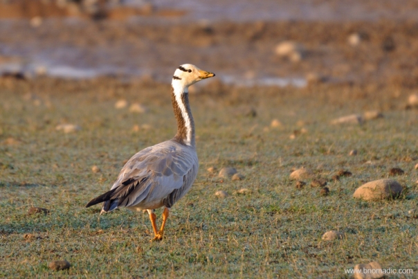 Bar-headed Goose, a hardy bird that has been observed flying above Everest