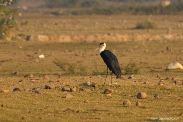 A woolly-necked Stork; also called Bishop Stork or White-necked Stork