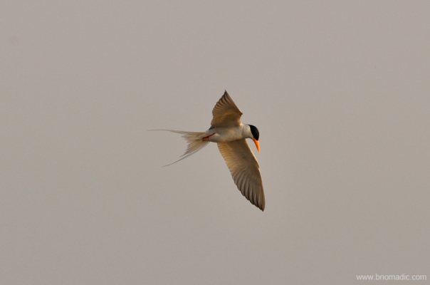 A River Tern; feeds by plunge-diving for fish, crustaceans, tadpoles and aquatic insects in rivers, lakes, and tanks. Its numbers are decreasing due to the pollution of their habitat.