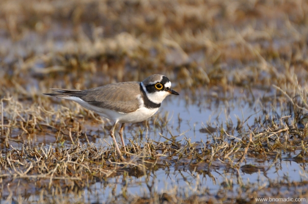 A Little Ringed Plover
