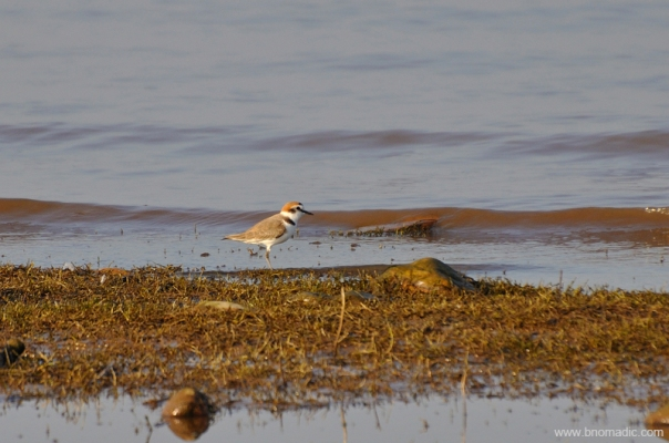 A Kentish Plover; It is smaller, paler, longer-legged and thinner-billed than ringed plover