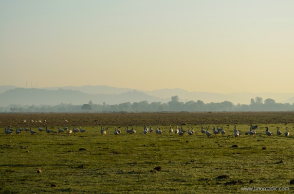 View towards Nagrota with Shivaliks in the backdrop; A gaggle of Geese marching towards the fields.