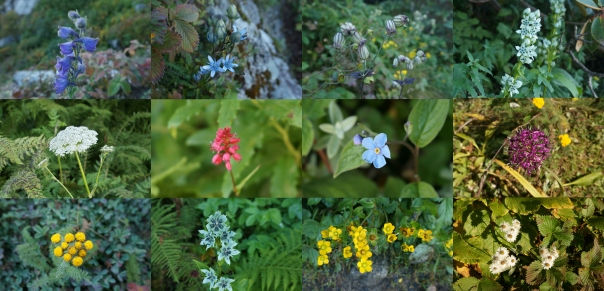 After teesri, the trail is carpeted with variety of Himalayan wildflowers